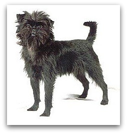 Non Shedding Dog Breeds Medium