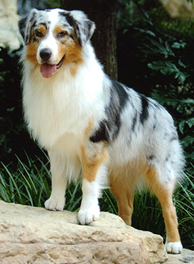 Australian Shepherd Puppies on Australian Shepherd  Australian Shepherd Information  Picture And