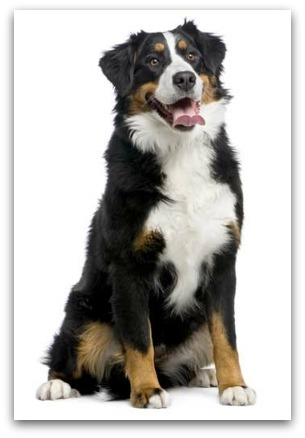 Large Dog Breeds-List of Large Dog Breeds