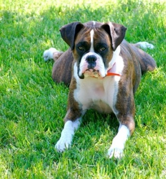 dog breeds list. Large Dog Breeds-List of Large