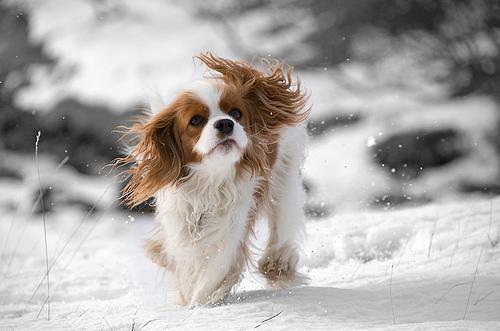 Cavalier King Charles Spaniel Dog Breeds