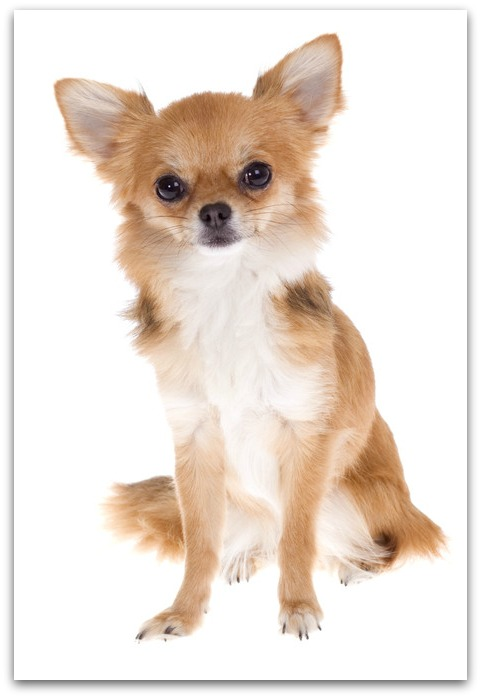 Toy Dog Breeds List : Toy dogs dog breeds information