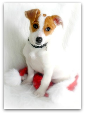 Small White Dogs Breeds Dog