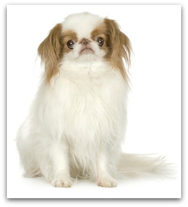 Small Dog Breeds - SmallBreeds of Dogs