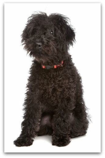 List Of Non Shedding Small Dogs