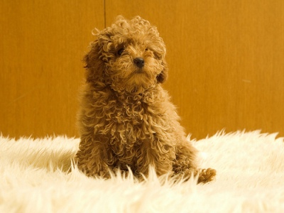 List Of Dog Breeds From A Z