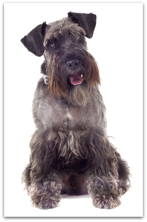 Schnauzer And Scottish Terrier list of dog breeds fro...
