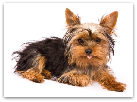 silky terrier hypoallergenic miniature toy dog breeds miniature dog breeds toy dog 6077